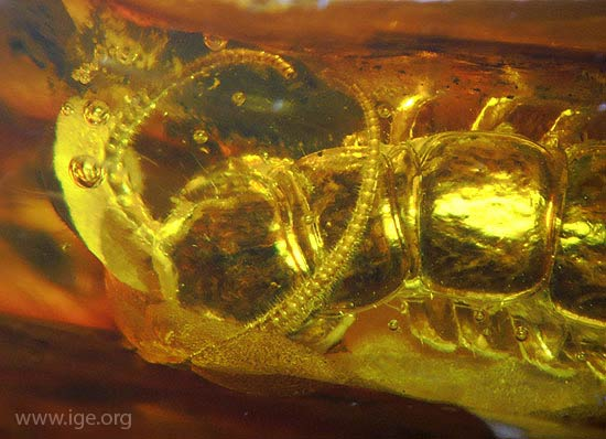 falsificacion-ambar-insecto-4